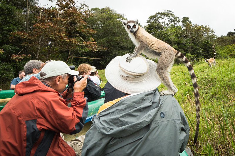 We were canoeing around lemur island when this ring-tailed lemur found a home on Julie's head.