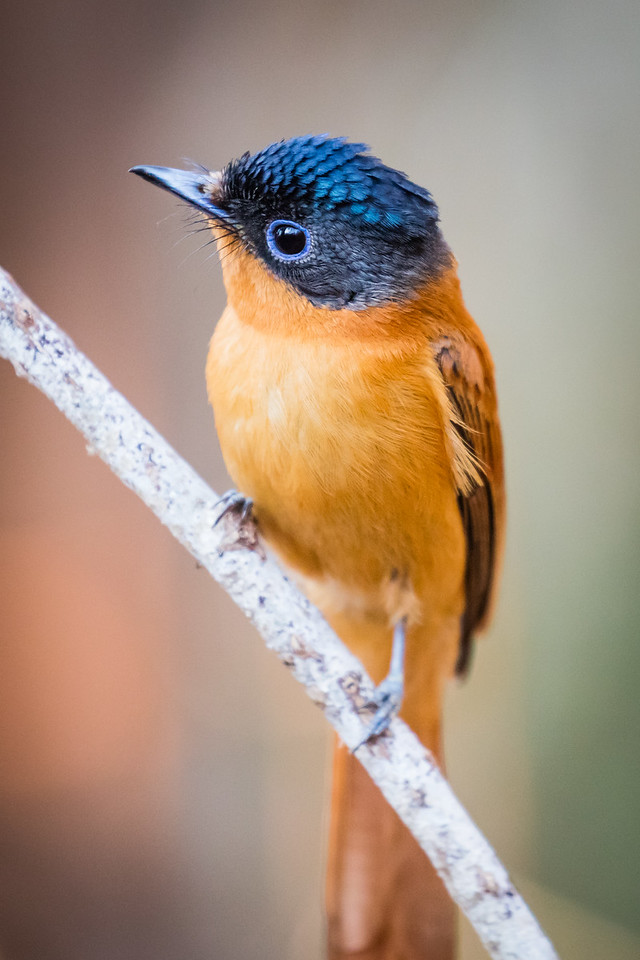 I was surpised how few birds we saw, but I was happy to  photograph this paradise flycatcher.