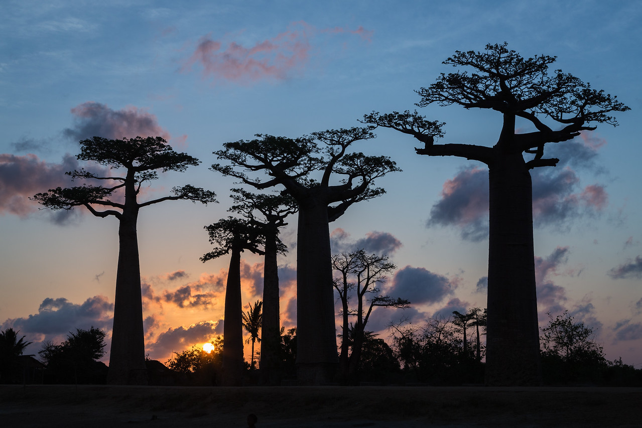 Baobabs are the national tree of Madagascar.