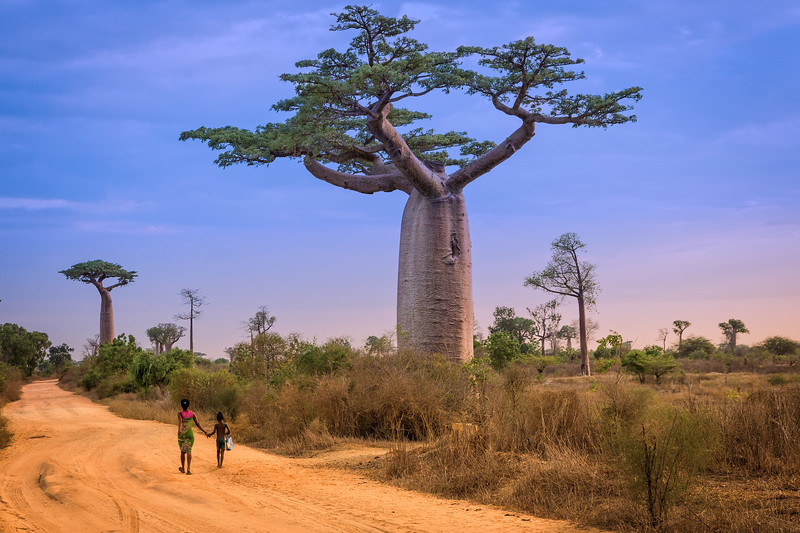 "Known as the ""tree of life,"" baobabs provide shelter, clothes, food and water to Madagascans. A single tree may hold up to 32,000 gallons of water."
