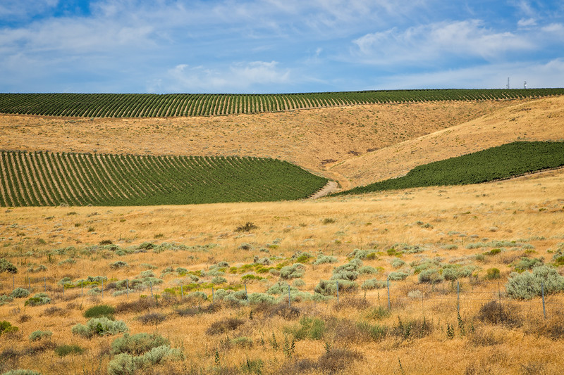 The Washington side of the Columbia River is now populated with vineyards and orchards thanks to irrigation