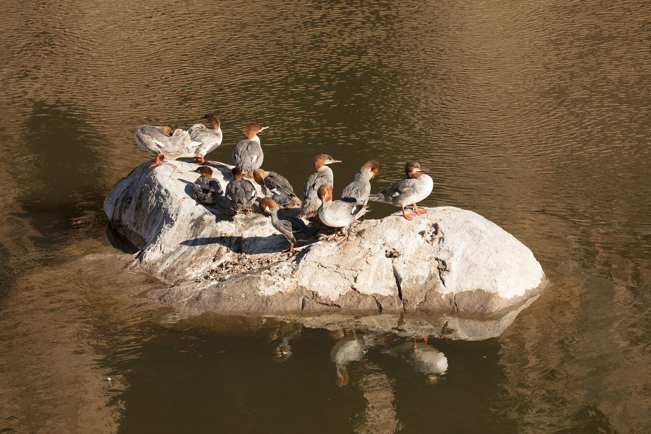 A flock of mergansers sit on a rock on the Crooked River