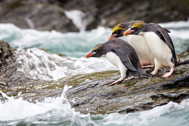 Macaroni penguins timing their entry into the water.