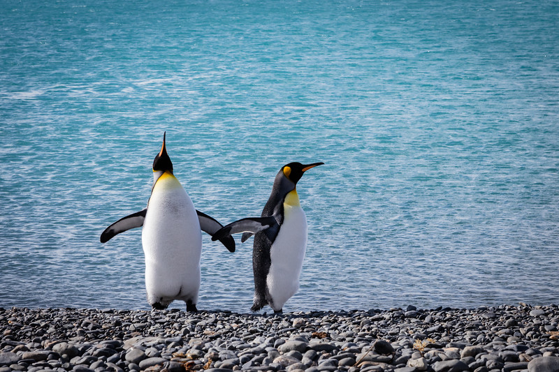 We were happy to see our first king penguins dancing on the beach. We shall see many more.