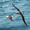 As we were leaving South Georgia I was able to photograph a black-browed albatross flying with a light mantled albatross.