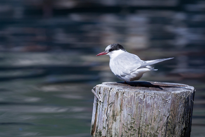 A tern looking over the harbor at Grytviken.