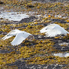 Greater kelp goose chasing another on Bleaker Island, Falkland Islands.