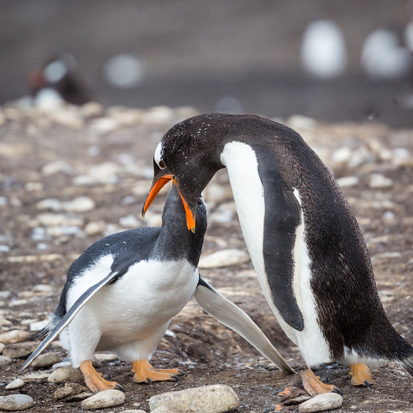 But the chick's persistence wins as she places her beak in her mother's in search of food.