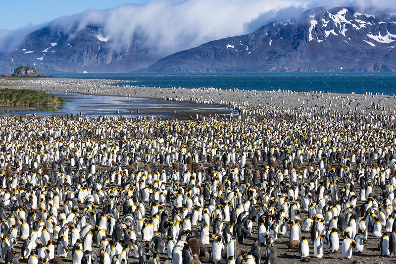 Estimates vary from 250,000 to 500,000 king penguins residing at Salisbury Plains. It's not just the sight of them that impacts you, it's the sound of them chirping at each other and the profound smell of so much guano.