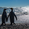Taking a romantic stroll along the beach perhaps! King penguins are about 30-36 inches tall and weigh between 25-40 lbs.