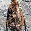 This young king penguin is in the process of shedding his brown coat to eventually have the beautiful colors of an adult. It takes about a year for that transition to occur.