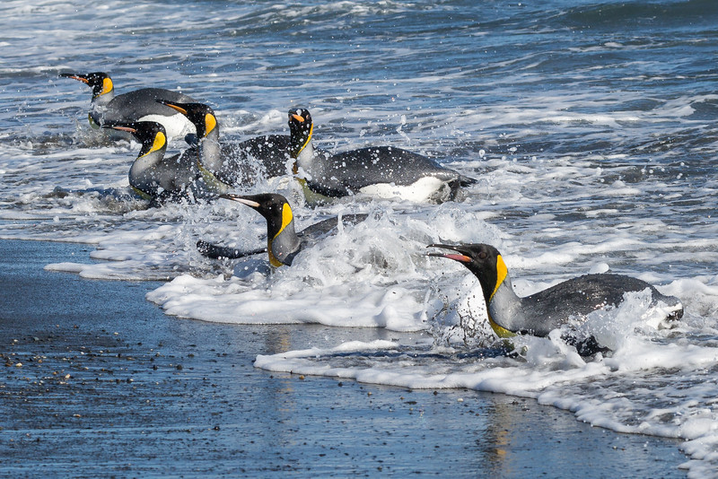 These birds are amazing divers, going as deep as 1000 feet, but more often to about 300 feet and they will stay under for up to 5 minutes.