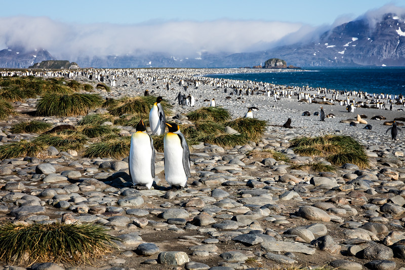 We landed on the beach at Salisbury Plains to an amazing sight of king penguins and fur seals as far as the eye could see.