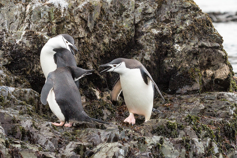 These chinstrap penguins are having quite the discussion.