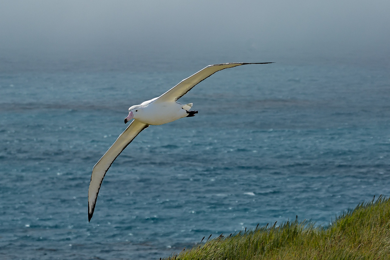Wandering albatrosses spend most of their time in flight, stopping only to breed and feed.