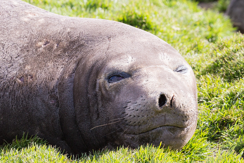 Now this is a face to love. It is an elephant seal basking in the warm sun we were lucky to have at Jason Harbour.