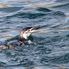 Chinstrap penguin surfacing near our Zodiac with the afternoon light revealing her orange eyes.