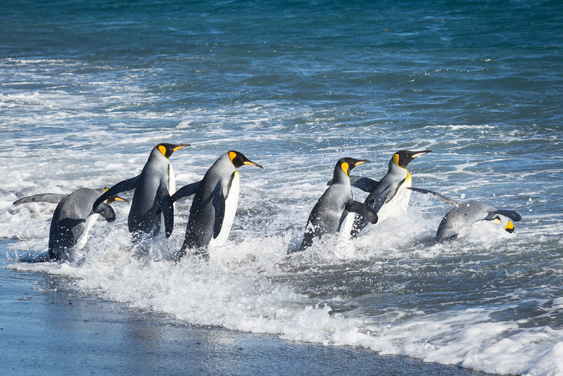 King penguins go to sea to eat small fish and squid. They do not rely on krill much.