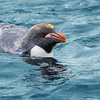 And here is a macaroni penguin swimming by as well.