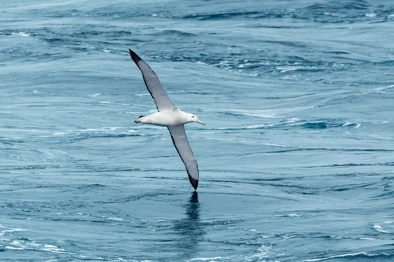 This black-browed albatross followed our ship for many hours as we traveled to South Georgia. During that time I never saw it flap its wings.