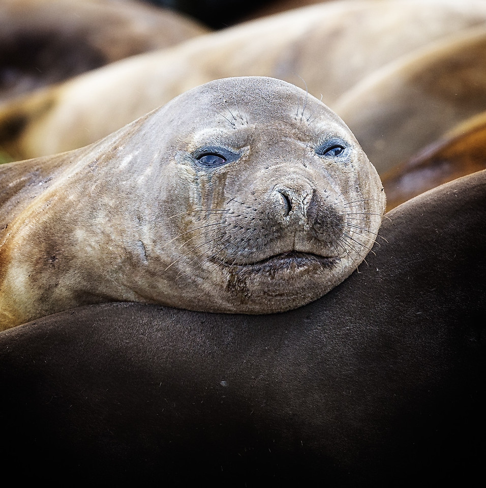 Male elephant seals are about twice the size of females, measuring up to 20 feet in length and weighing over 8000 pounds. They spend most of their time at sea and can stay underwater for up to 100 minutes.