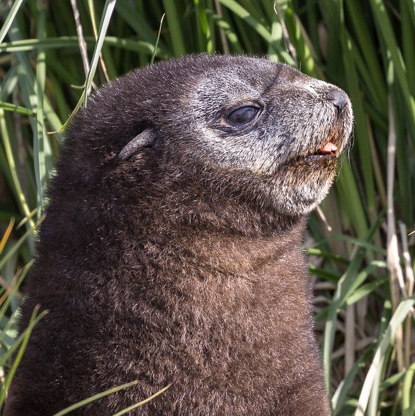 At our first landing at Jason Harbour I saw this young fur seal amongst the tussock grass.