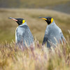 I saw this pair of king penguins walking through the grass.