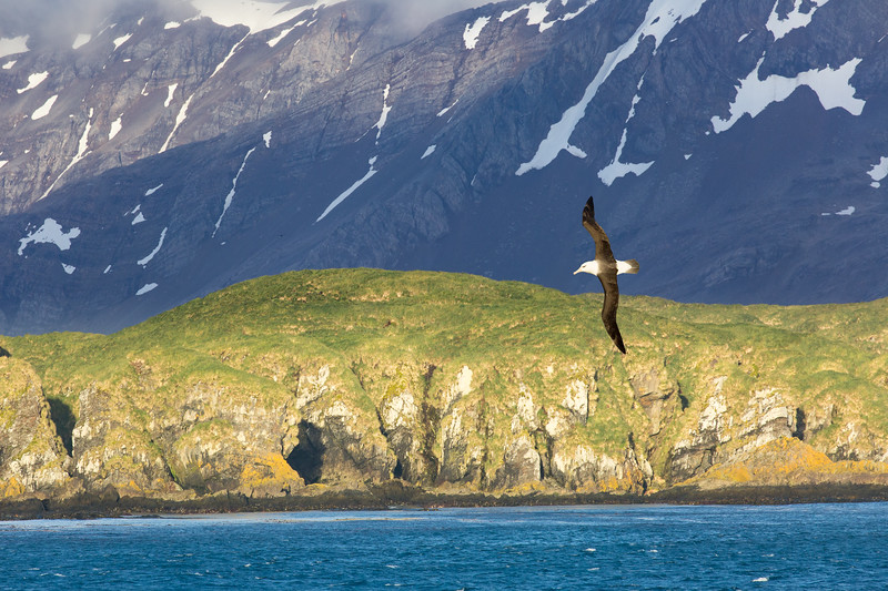 It is our first sighting of land and we're greeted by our ever-present albatrosses. These birds have wingspans up to 12 feet and live to nearly 50 years of age. They are marvelous to watch in flight.