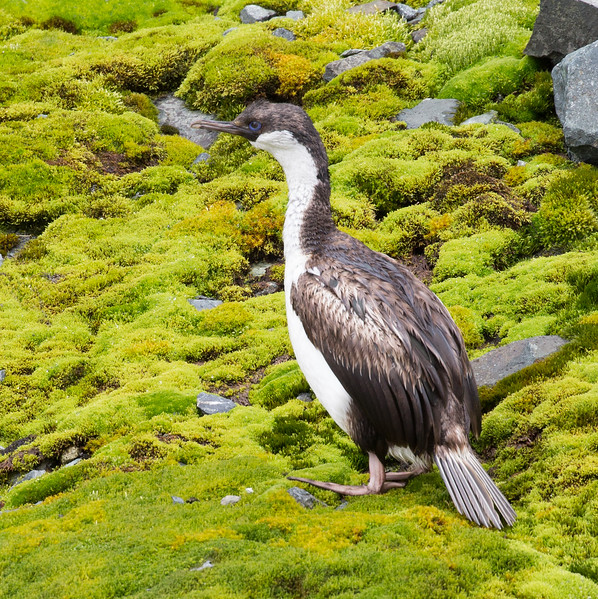 Blue-eyed shag on a moss-covered cliff in Drygalski Fjord.