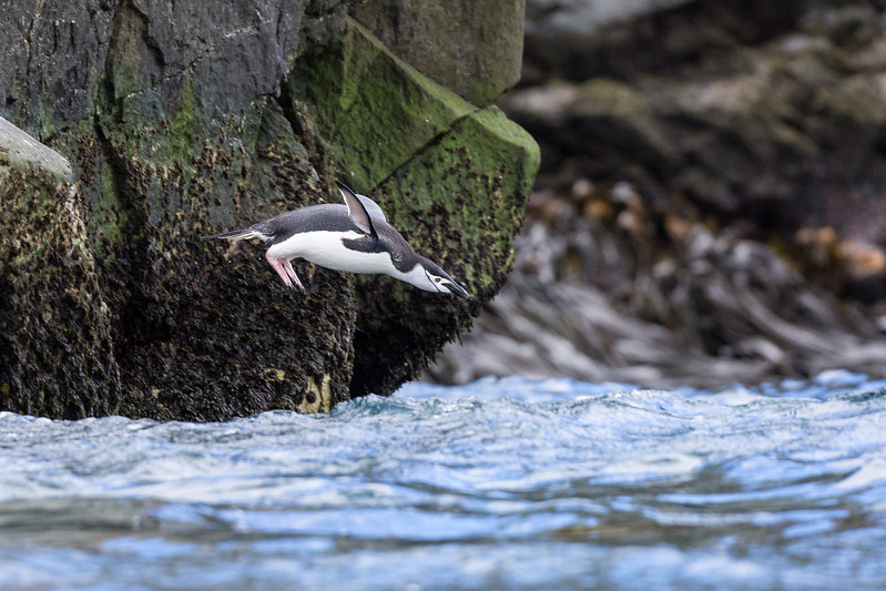 We made it to Coopeer Bay for a Zodiac cruise to see our first chinstrap penguin. This one is demonstrating her diving skills.