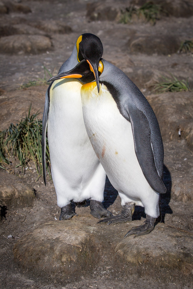 King penguins are serially monogamous. They are loyal to a mate for a year, but then many find a new mate the next year.