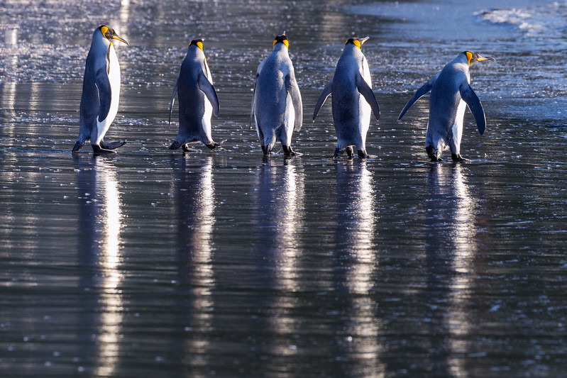 I caught these five king penguins marching to the sea and casting a long reflection on the receding wave.
