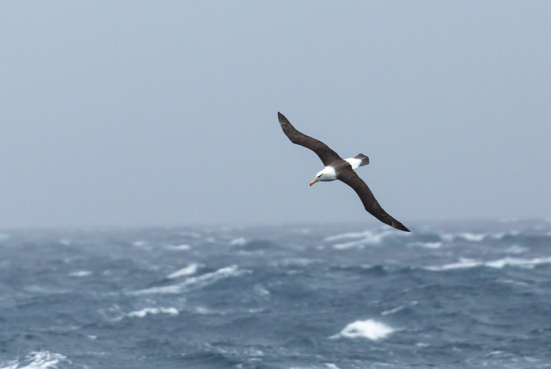 As we steamed to South Georgia for well over a day we saw heavy fog and of course the occasional albatross. The fog was the result of traveling through the Antarctic Convergence, a zone where the cold waters of Antarctica meet the warmer waters of the north.