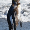 Here is a young king penguin much further along in shedding his brown coat.