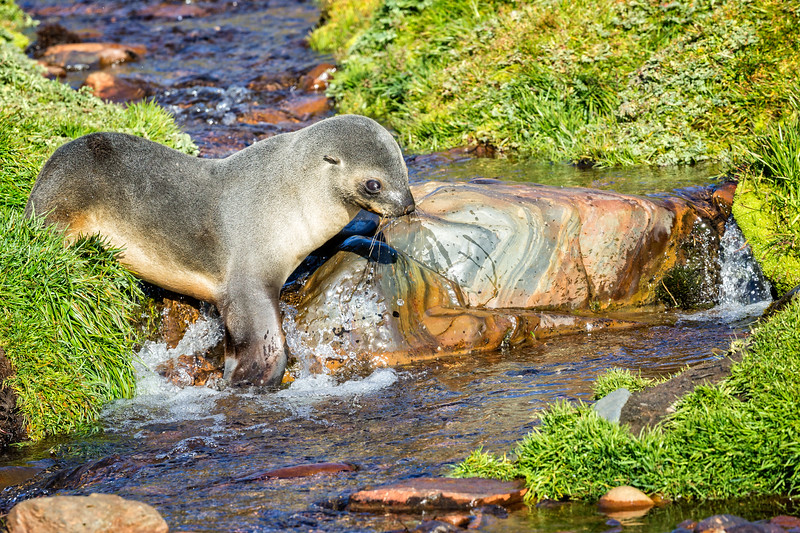 A fur seal drinking from a small stream at Grytviken.