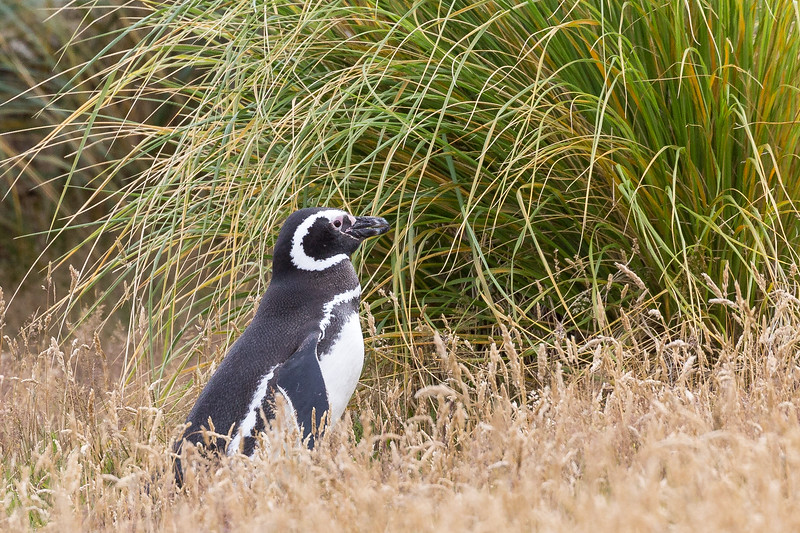 This is a magellanic penguin.