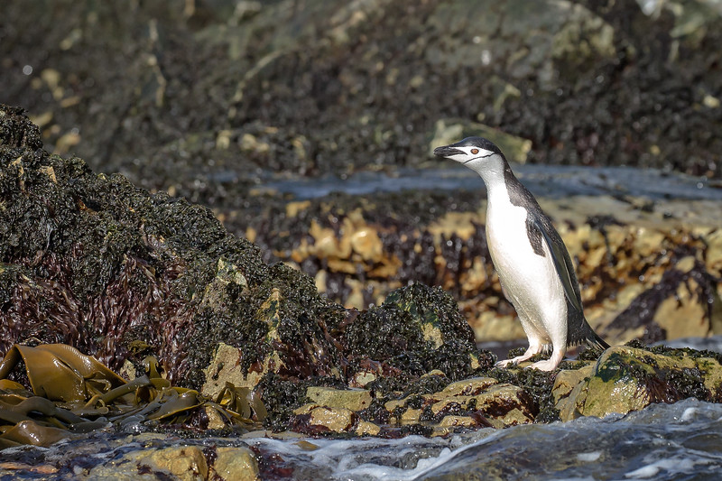A chinstrap penguin on the rocks.