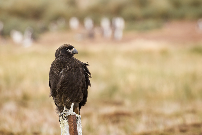 A striated caracara, quite different looking than the caracaras we saw in Torres del Paine.