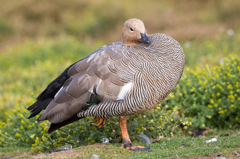 After 2.5 days of sea travel we landed at Sea Lion Island on the east side of the Falklands. This is a female upland goose displaying her beautiful feathers.