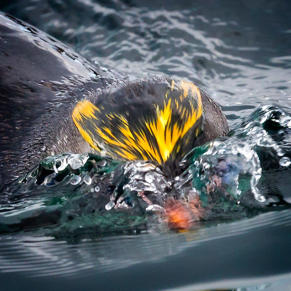 This macaroni penguin was camera shy. He ducked under water when he saw I was taking his picture.
