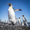 The predators  of king penguins include giant petrels, skuas, leopard seals, and orca whales.