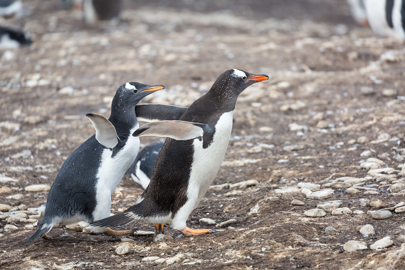 I'll end this slide show with a series of photos showing a young penguin chick chasing her mom to be fed.