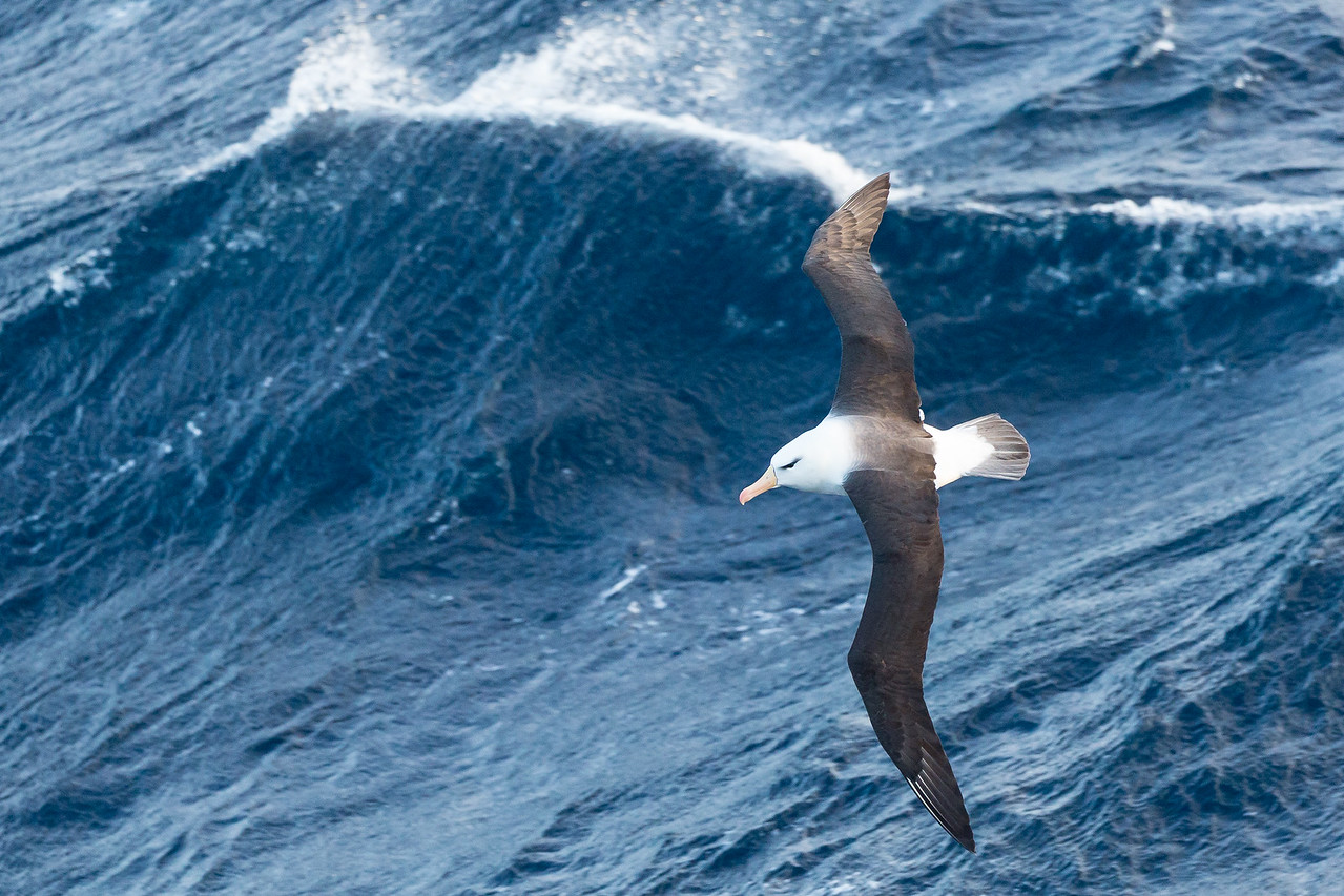 Another black-browed albatross cleverly catching an updraft from the wave behind it to keep it aloft.