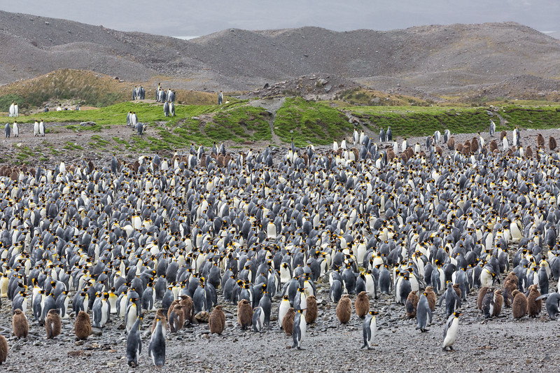We traveled north all night to reach Fortuna Bay. It was a cold, windy day but we hiked a mile to see this colony of king penguins.