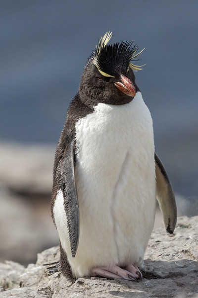 Rockhopper penguin on Bleaker Island, Falkland Islands