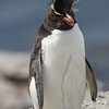 Rockhopper penguin on Bleaker Island, Falkland Islands