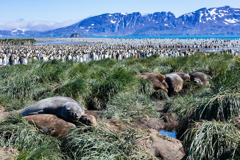 Elephant seals in the foreground with the colony of king penguins in the background at Salisbury Plains.
