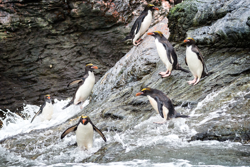 We moved on to Royal Bay where we took our Zodiacs to photograph the macaroni penguins playing in the sea.