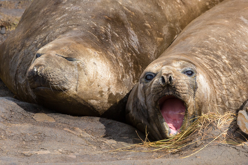 I'm not sure this elephant seal was greeting us, snarling at us, or belching. His companion could care less.