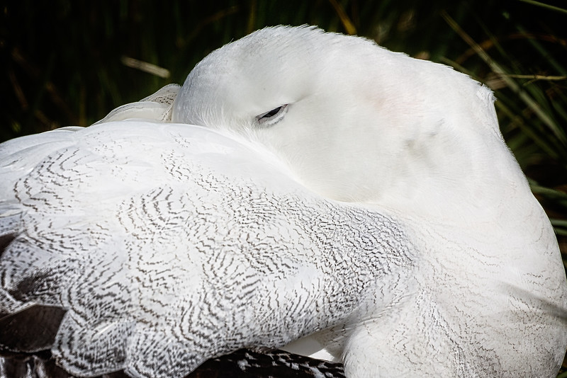 This wandering albatross was tucked up for a snooze, but kept an eye on me.